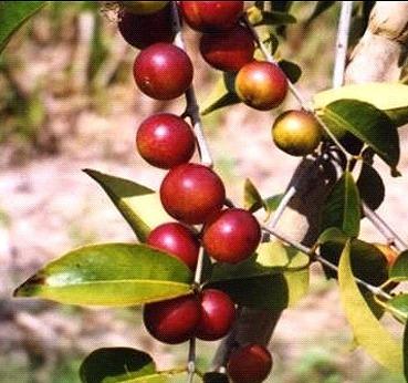 Ягоды каму-каму - богатейший источник витамина С